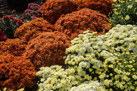 Variety of chrysanthemum outdoor. Autumn flowers. Flowers in park. Different colours.