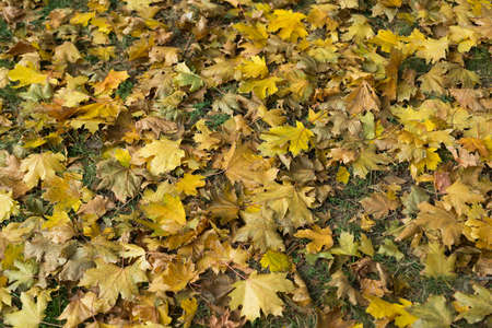 Fallen autumn leaves. Top view. Yellow colour. October mood Zdjęcie Seryjne - 88101158
