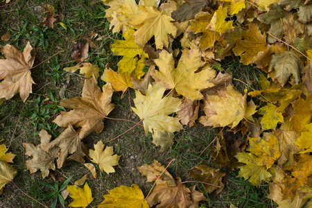 Fallen autumn leaves. Top view. Yellow colour. October mood