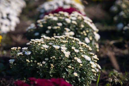 Chrysanthemum being grown in plastic pot. Outdoor flowers. Autumn season. Flowers. Zdjęcie Seryjne - 88491066