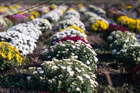 Chrysanthemum being grown in plastic pot. Outdoor flowers. Autumn season. Flowers. Zdjęcie Seryjne - 88491067