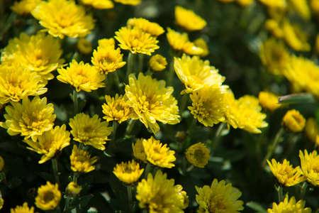 Chrysanthemum being grown in plastic pot. Outdoor flowers. Autumn season. Flowers. Zdjęcie Seryjne - 88491068