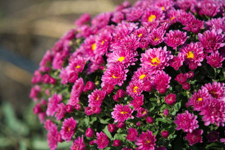 Chrysanthemum being grown in plastic pot. Outdoor flowers. Autumn season. Flowers.