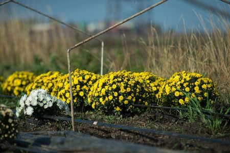 Chrysanthemum being grown in plastic pot. Outdoor flowers. Autumn season. Flowers. Zdjęcie Seryjne - 88491119