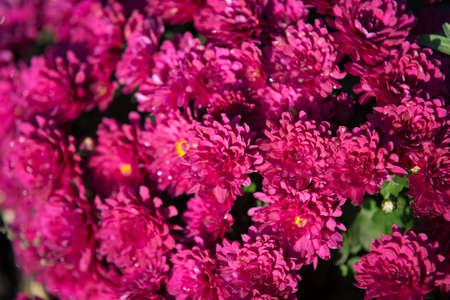 Chrysanthemum being grown in plastic pot. Outdoor flowers. Autumn season. Flowers. Zdjęcie Seryjne - 88491120