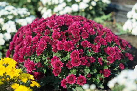 Chrysanthemum being grown in plastic pot. Outdoor flowers. Autumn season. Flowers. Zdjęcie Seryjne - 88491122