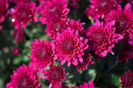 Chrysanthemum being grown in plastic pot. Outdoor flowers. Autumn season. Flowers. Zdjęcie Seryjne - 88491123