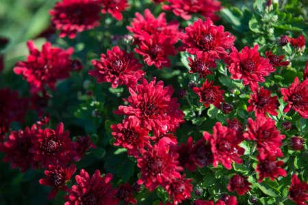 Chrysanthemum being grown in plastic pot. Outdoor flowers. Autumn season. Flowers. Zdjęcie Seryjne - 88491124