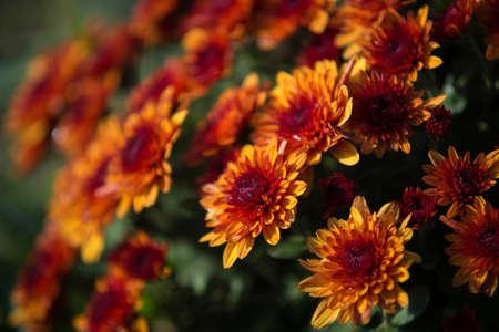 Chrysanthemum being grown in plastic pot. Outdoor flowers. Autumn season. Flowers. Zdjęcie Seryjne - 88491125