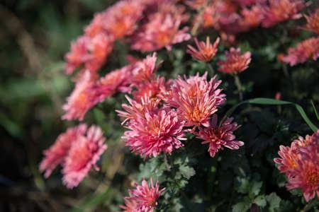 Chrysanthemum being grown in plastic pot. Outdoor flowers. Autumn season. Flowers. Zdjęcie Seryjne - 88491127