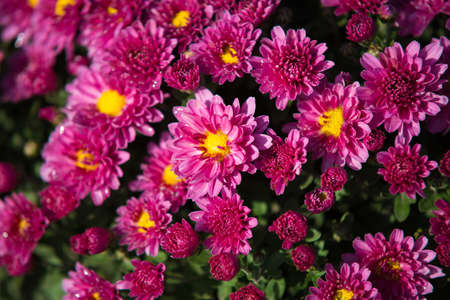 Chrisanthemum being grown in plastic pot. Outdoor flowers. Autumn season. Flowers.