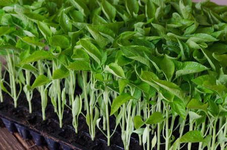 Seedlings of paprika in plastic tray on wooden board. Spring season. Zdjęcie Seryjne - 94358993