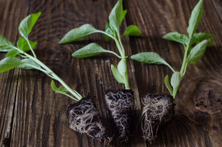Seedlings of pepper with root system close-up on wooden background Zdjęcie Seryjne