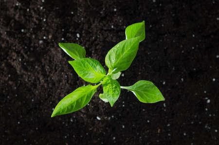 Paprika plant with ground. Early spring planting. Zdjęcie Seryjne - 94307549