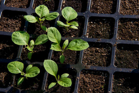 Young shoots of eggplant. The sprouts of eggplants grown at home from seeds. Standard-Bild