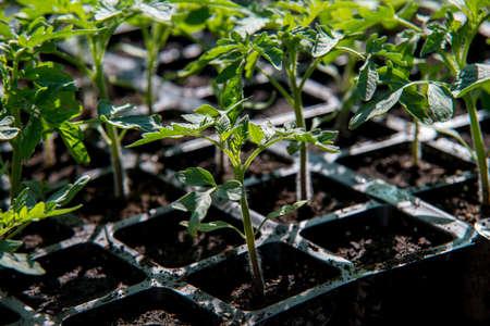 seedling of tomato in seedling tray
