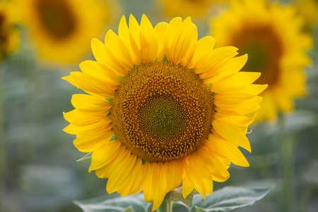 close-up of a beautiful sunflower in a field Zdjęcie Seryjne