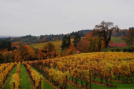 Vineyard in the Willamette Valley in autumn
