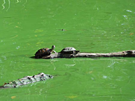 turtles in a lake in Central Park in New York city Stock Photo