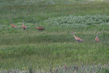 Sandhill Cranes in a meadow in the Stanley Basin, near Stanley, Idaho