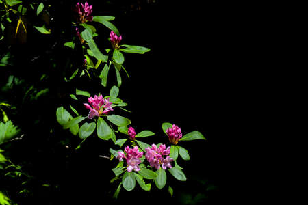 Wild Rhododendrons Growing Near Lost Lake in the Mount Hood National Forest in Oregon 4064