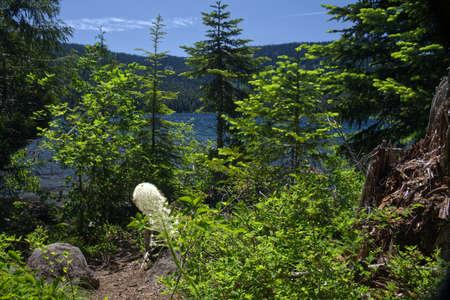 Bear Grass Growing Alongside Lost Lake in the Mount Hood National Forest in Oregon 4067 Imagens