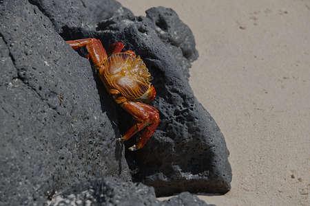 Sally Lightfoot Crabs, also known as Red Rock Crabs along the Coast of Ecuador 3017