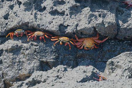 Sally Lightfoot Crabs, also known as Red Rock Crabs along the Coast of Ecuador 3023