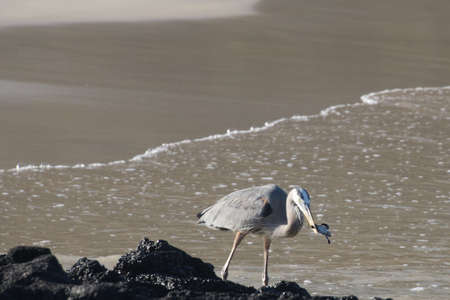 Great Blue Heron Preparing to Wash the Sand off the Newly hatched Baby Sea Turtle it just Plucked from the Nest 3357