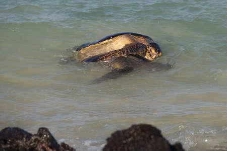 Sea Turtles Mating in the Ocean off the Coast of Ecuador 3359 Imagens