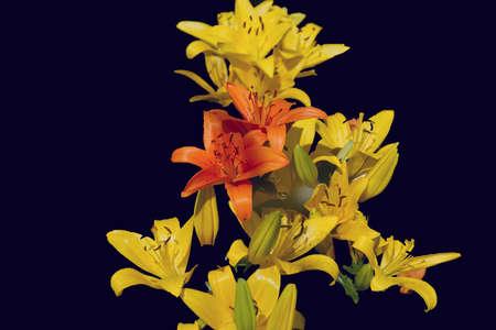 Yellow Diamond and Tresor Lilies Imagens