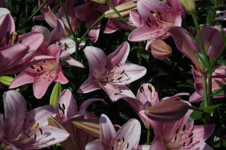 Cogoleto Lilies in Full Bloom