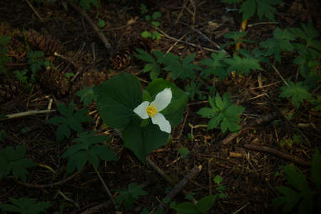 Pacific Trillium Growing Wild in the Woodlands of Oregon