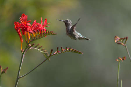 Female Anna's Hummingbird Feeding on Crocosmia Nectar_5884
