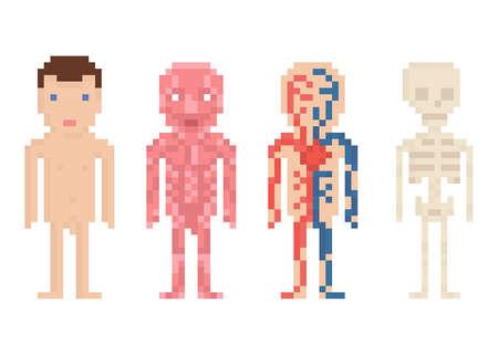Human Body Anatomy - nude body, muscle, blood circle and sceleton, pixel art illustration on white Vettoriali