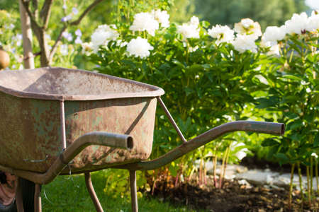 oxidated: Rusty old gardening wheel barrow in front of white flowers in a garden Stock Photo