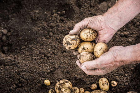 potato field: Hands harvesting fresh organic potatoes from garden