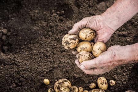 Hands harvesting fresh organic potatoes from garden