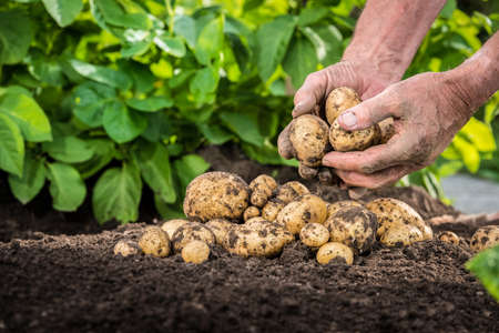 Hands harvesting fresh organic potatoes from soil