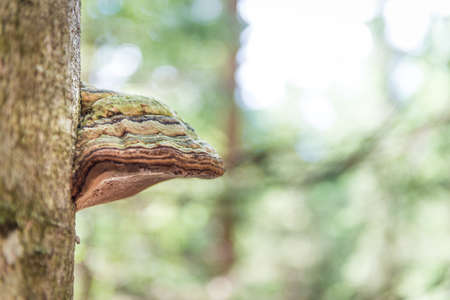 Tinder fungos on a tree trunk in summer