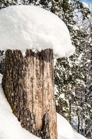 Snow covered tree trunk in winter in the forest