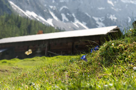 Alpine mountain cabin with blue gentian and butterfly in summer Stock Photo