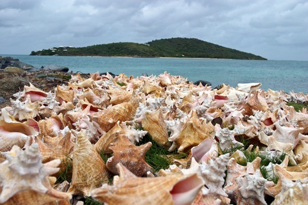 Conch shells dry on the shoreline of Virgin Gorda in the British Virgin Islands. Stock Photo