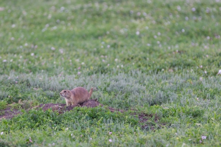 A prairie dog emerges from his burrow at Teddy Roosevelt National Park in western North Dakota  Stock Photo