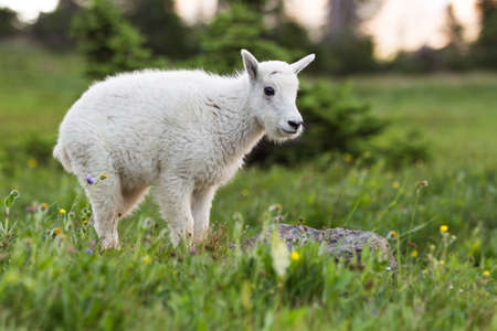 A newborn mountain goat grazing in Glacier National Park, Montana