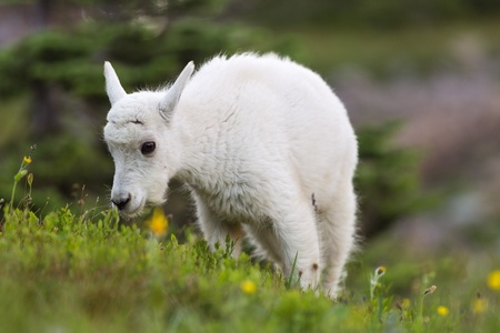 A newborn mountain goat grazing in Glacier National Park, Montana