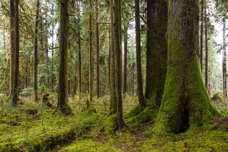 A grove of cedars and hemlock trees covered in Pacific Northwest moss  Stock Photo