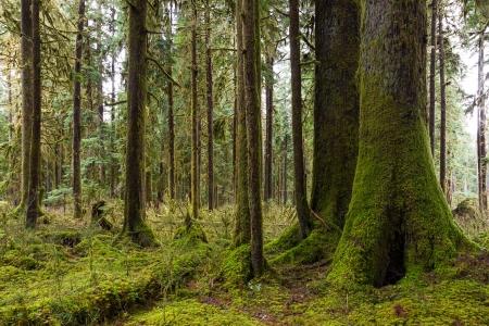 hemlock: Un bosque de cedros y árboles abeto cubierto de musgo Pacific Northwest