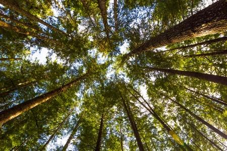 cicuta: La luz del sol brilla a trav�s de una densa arboleda hemlock occidental en el lado norte del lago Quinault en el Bosque Nacional Olympic, Washington