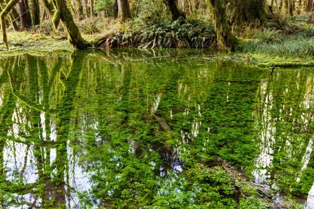Underwater plants in a crystal clear pond create an optical illusion along the Maple Grove trail in the Olympic National Forest, Washington